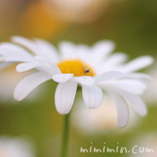 マーガレットの花の写真4-74