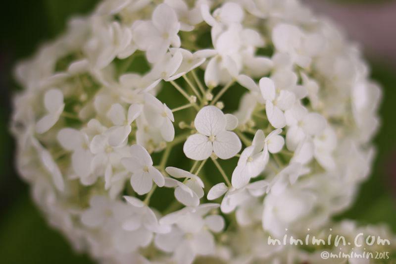 白いアジサイ(紫陽花)の画像