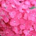 紫陽花(濃いピンクのアジサイ)の画像