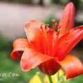 赤いスカシユリの写真