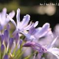 アガパンサス(淡いブルー)の花の写真