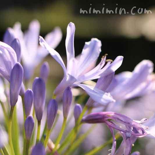 アガパンサス・淡いブルーの画像