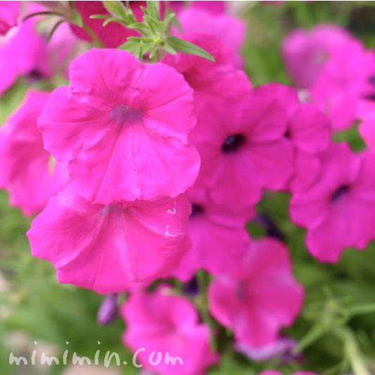 ペチュニア(ピンクパープル)の花の写真