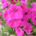 ペチュニア(ピンクパープル)の写真4-7-14