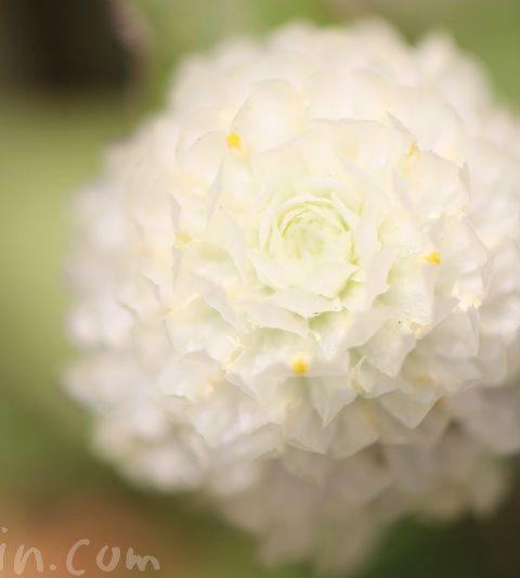 センニチコウ(千日紅)の花の写真&花言葉