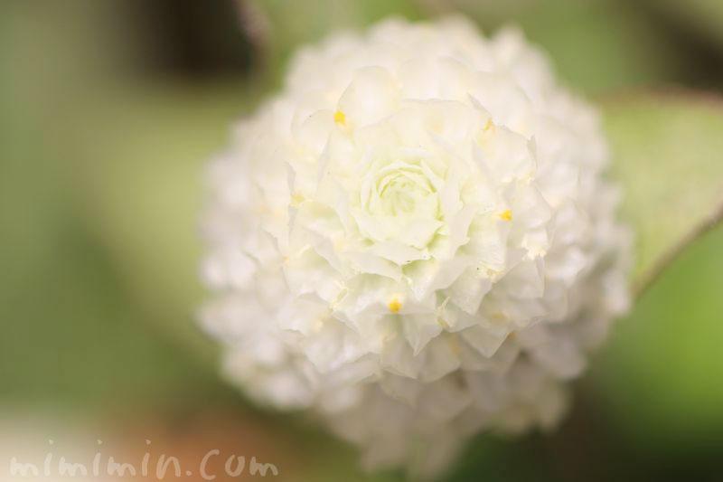 センニチコウの花・白