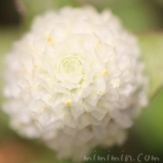 千日紅の花・白