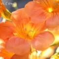 ノウゼンカズラの花の写真