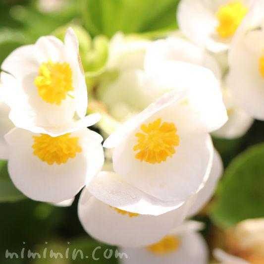 ベゴニアの花・白の写真