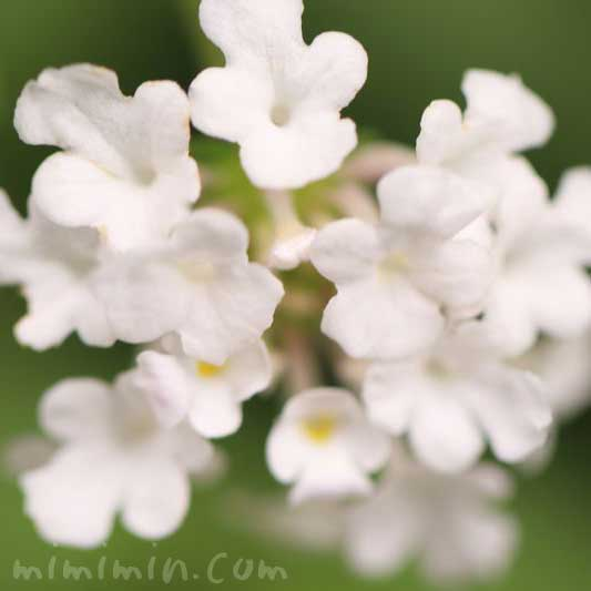 白いランタナの花の写真