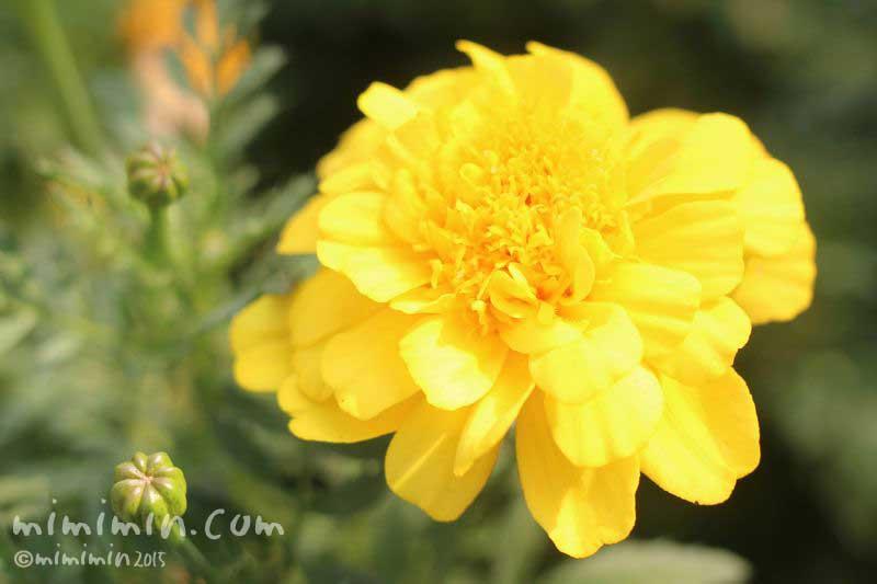 黄色いマリーゴールドの花の写真8-7