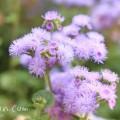 アゲラタムの花の写真(5-8-4)