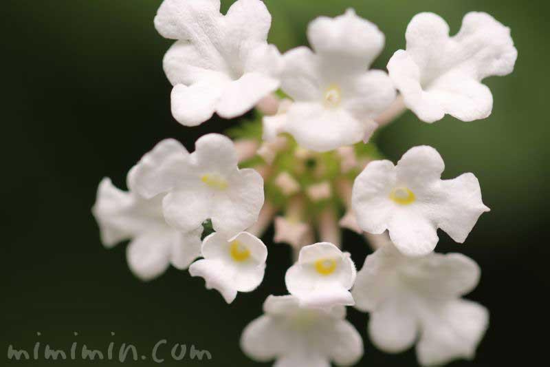 ランタナの花(白色)の写真