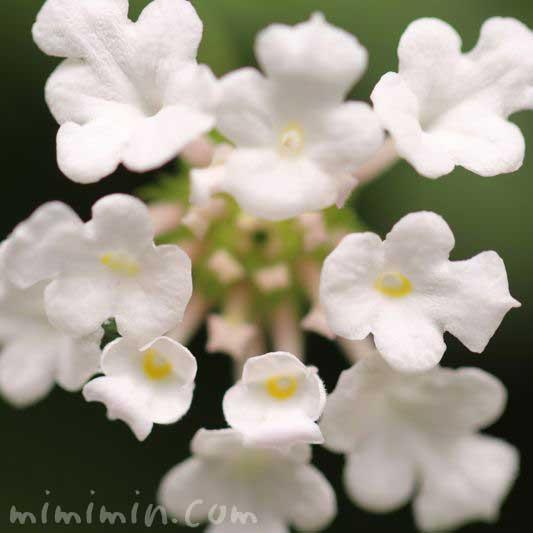 白いランタナの花