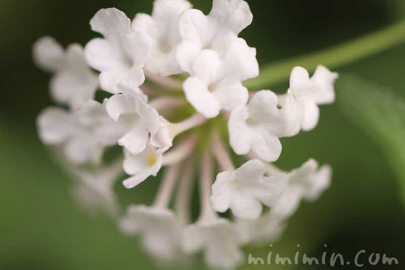 白い七変化の花の写真