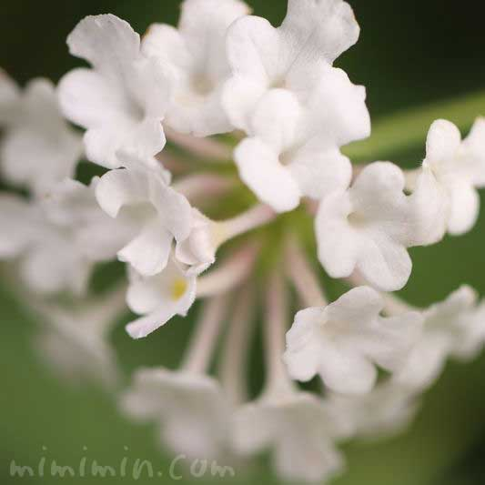 白いランタナ