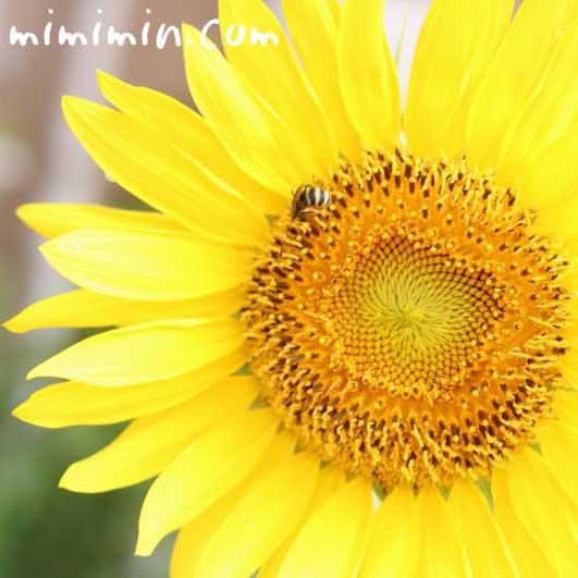 ヒマワリ(向日葵)の花言葉と花の写真の画像