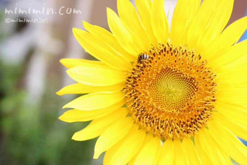 ヒマワリの花(向日葵)の写真8-8