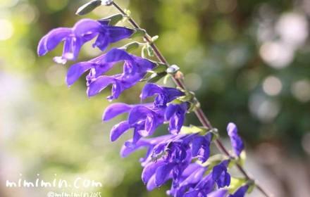 サルビア・ガラニチカの写真&花言葉&名前の由来のイメージ画像