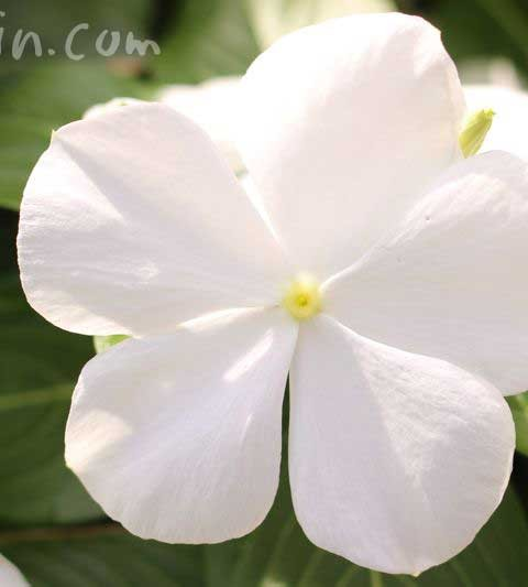 白いニチニチソウ(日々草)の花の写真&花言葉