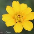 マリーゴールド・一重咲き・黄色の写真