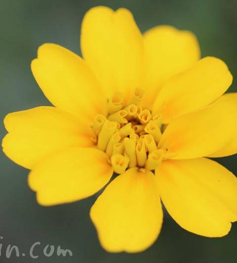 黄色のマリーゴールド 花の写真&花言葉
