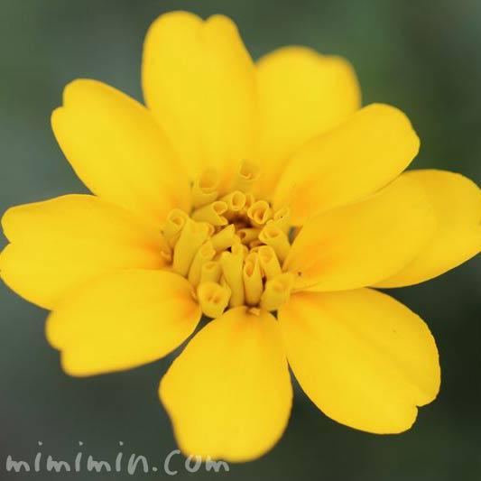 マリーゴールド・一重咲きの画像
