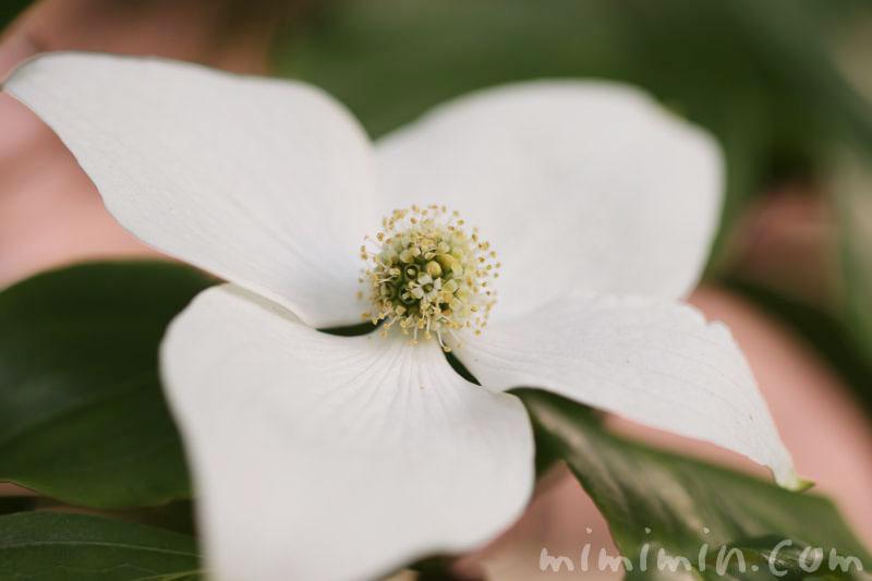 ヤマボウシの花言葉の画像