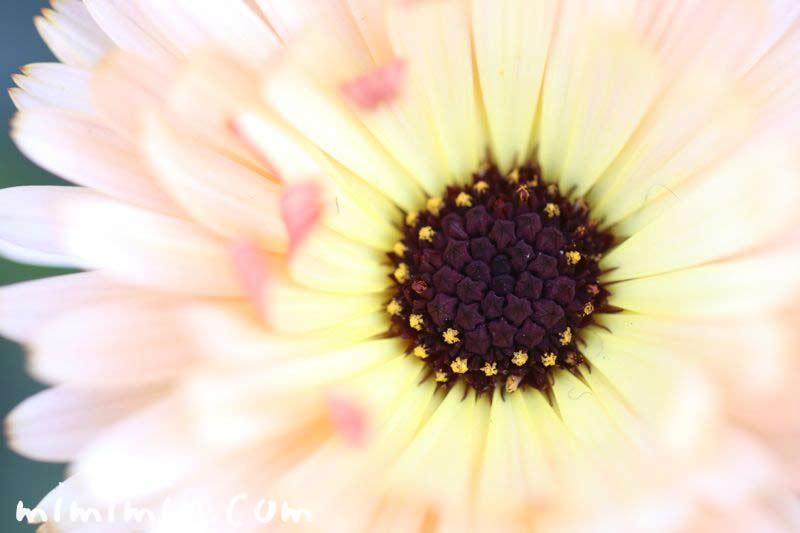 キンセンカの花言葉の画像