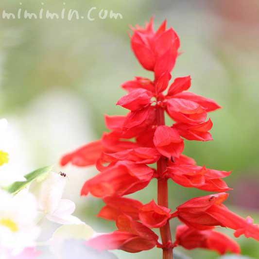 サルビア・スプレンデンスの花の写真