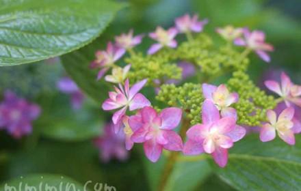 あじさい・紫陽花(ピンク)の画像