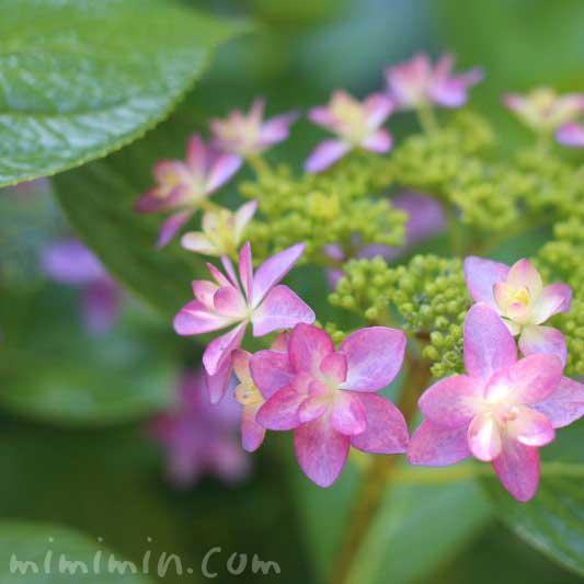 あじさいの花(ピンク)の写真