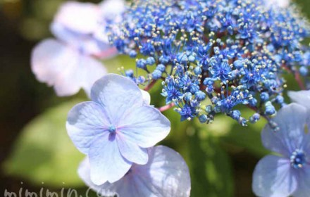 青色のガクアジサイの画像