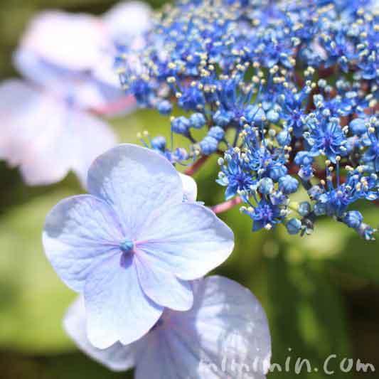 青色のガクアジサイの花の写真