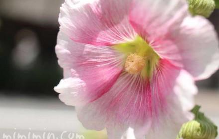 タチアオイの花の写真