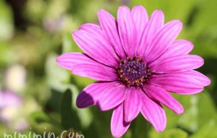 オステオスペルマム(赤紫)の写真