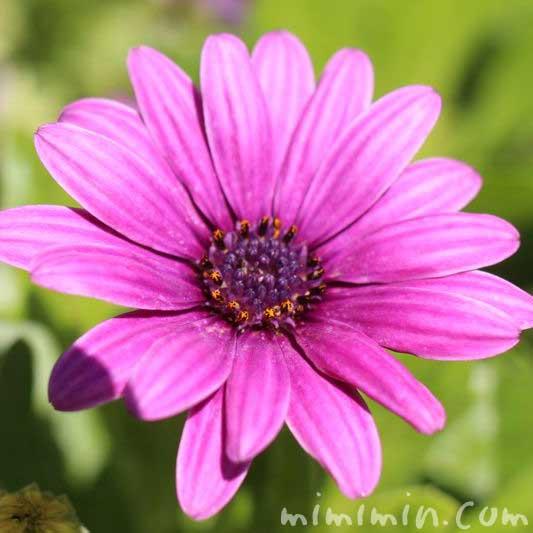 赤紫色のオステオスペルマムの画像