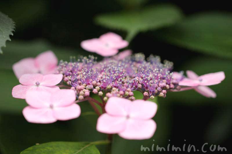 ガクアジサイ(ピンク)の画像