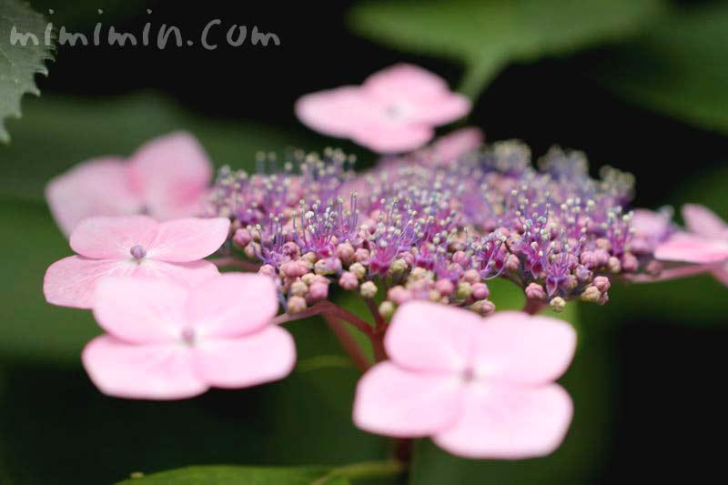 額紫陽花(アジサイ)の写真