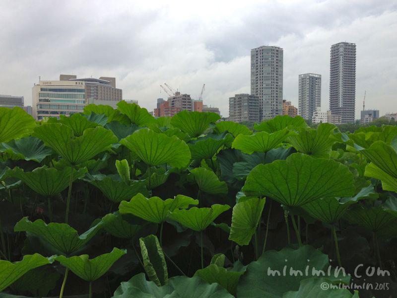 野恩賜公園不忍池の蓮の葉の写真