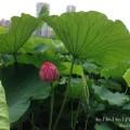 野恩賜公園不忍池の蓮のツボミの写真