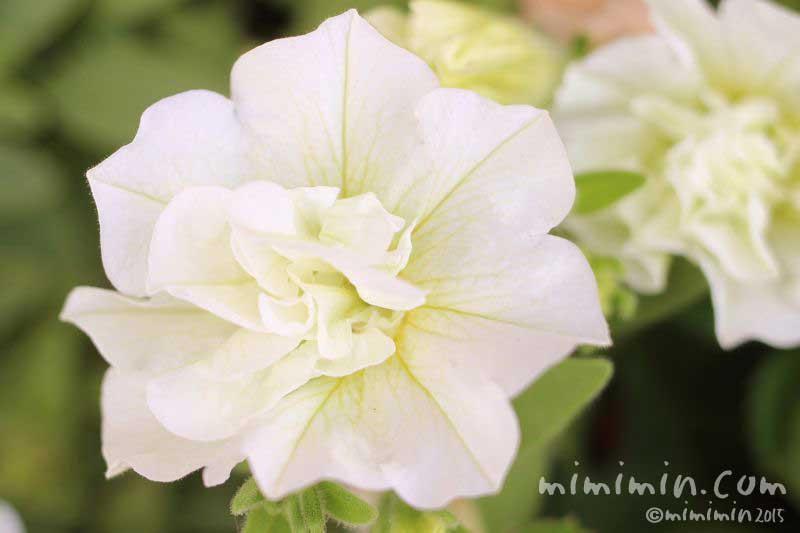 白い八重咲きペチュニアの花の写真