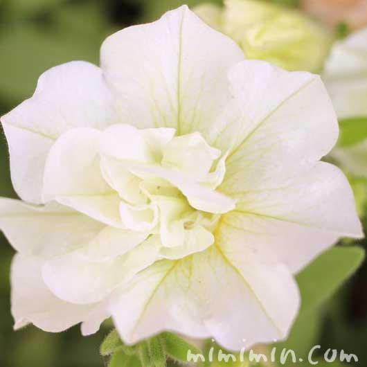 八重咲きペチュニア・白の写真