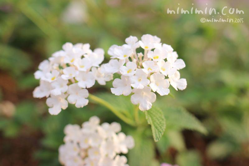 白いランタナの写真