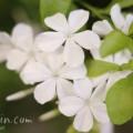 白いルリマツリの写真