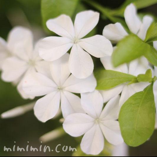 白いルリマツリの花の写真