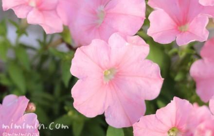 ペチュニア(薄いピンク)の写真