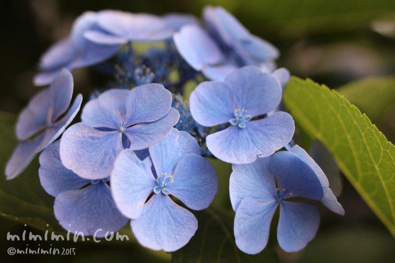 青いガクアジサイ(紫陽花)の画像