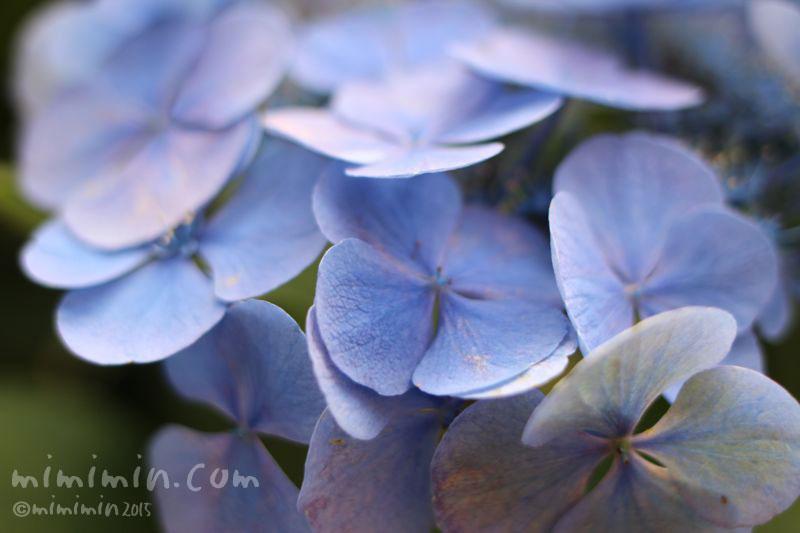 青色のガクアジサイ(紫陽花)の写真