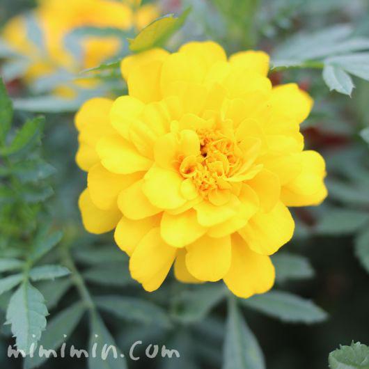 黄色のマリーゴールの写真